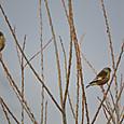 春の野鳥 05