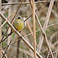 春の野鳥 03
